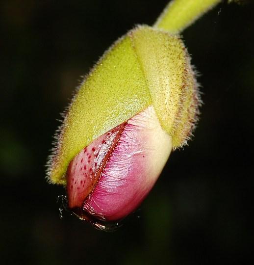 Paphiopedilum (Paphiopedilum)
