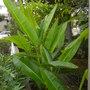 My Heliconia schiedeana - Claw Flower (My Heliconia schiedeana - Claw Flower)