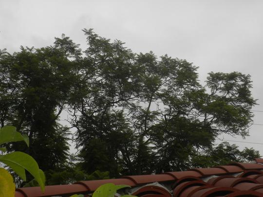 My Jacaranda mimosifolia - Jacaranda Tree  (Jacaranda mimosifolia - Jacaranda Tree)