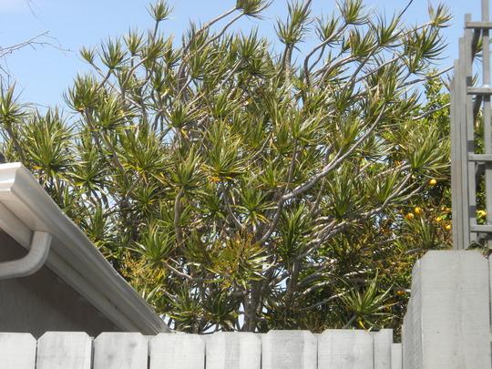 Dracaena marginata - Madagascar Dragon Tree (Dracaena marginata - Madagascar Dragon Tree)