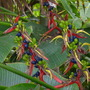 Heliconia schiedeana - Claw Flower with seeds (Heliconia schiedeana - Claw Flower)