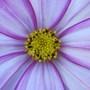 Pink/White Cosmos Closeup