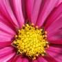 Bright Pink Cosmos Closeup