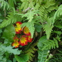 Primulas and ferns....