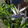 Bird of Paradise Greyish White (Strelitzia reginae (Bird of paradise))