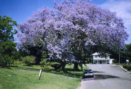 Old Jacaranda,Coral street,nr Margaret's (Jacaranda mimosifolia (Brazil Rosewood))
