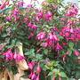 Garden_fuchsia_001