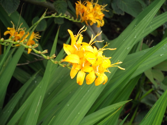 Another one of my Crocosmias