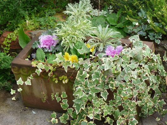 Old trough with winter planting. (Erysimum bicolor (Bowles' perennial wallflower))