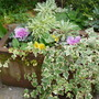 Old trough with winter planting. (Erysimum bicolor (Bowles' perennial wallflower))
