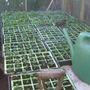 500 pansies