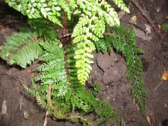 Polystichum polyblepharum (Japanese tassel fern) (Polystichum polyblepharum (Japanese tassel fern))