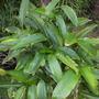 Heliconia stricta 'Jamaican Dwarf' - Jamaican Dwarf Heliconia (Heliconia stricta 'Jamaican Dwarf' - Jamaican Dwarf Heliconia)