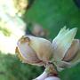 Hazel Nuts from Corkscrew Hazel!!