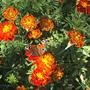 Marigold & butterfly (Marigold)