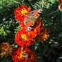 Marigold, butterfly and bee (Marigold)