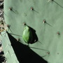 Tiny resident in the rock garden - 2 (Opuntia ficus-indica (Barbary Fig))