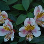 Alstroemeria 'Selina'