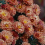 Chrysanthemum 'Peterkin'