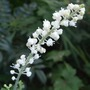 Actaea (Actaea matsumurae (Bugbane))