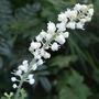 Actaea (Actaea matsumurae (Bugbane))