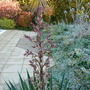 Yucca - Too Late For The Early Frosts?   :-(