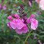 Salvia 'Icing Sugar' (Salvia x jamensis)