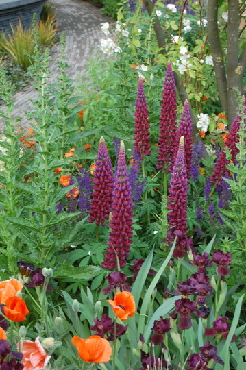 Lupins at Chelsea Flower Show