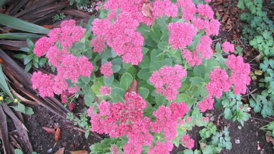 Sedum spectabile flowering it's heart out. (Sedum spectabile (Ice plant))