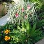 Primulas Still Giving Colour