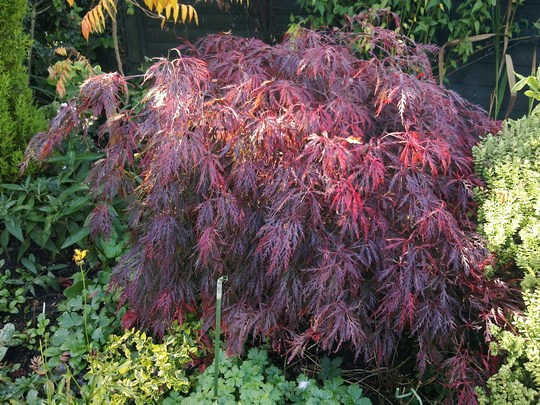 Acer Palmatum Dissetcium Atropupueum