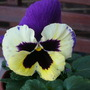 Love the colour of pansy