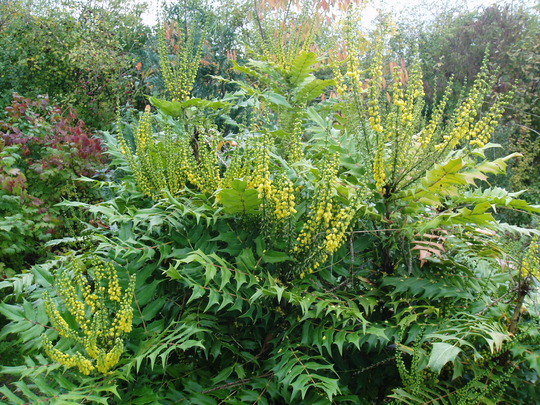 Mahonia Charity Grows On You