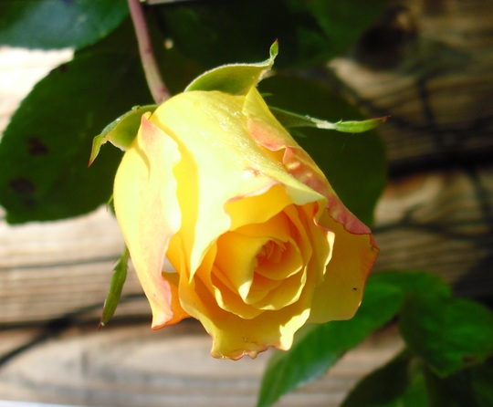 Rose bud on ' Golden Showers'