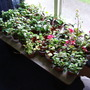Over wintering fuchsias and pelargoniums in an unheated bedroom....a290