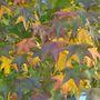 Sweet Gum in Autumn (Liquidambar styraciflua (Sweet gum))
