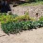 Vegetable garden 2009