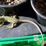 'George' my lizard helper