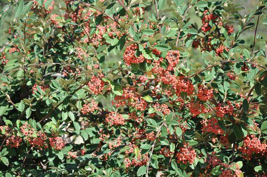 Cotoneaster in Autumn (Cotoneaster lacteus (Late Cotoneaster))