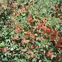 Cotoneaster in Autumn (Cotoneaster lacteus (Late Cotoneaster))