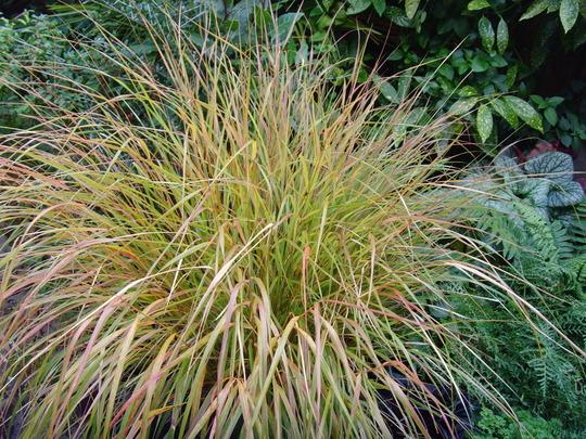 Pheasant Grass in Autumn (Stipa arundinacea (Pheasant's tail grass))