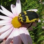fruit chafer beetle ( pachnoda sinuata flaviventris ) (pachnoda sinuata flaviventris)