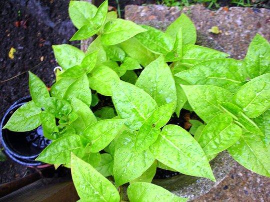 FOUR O'CLOCK PLANTS STILL COMMING ON