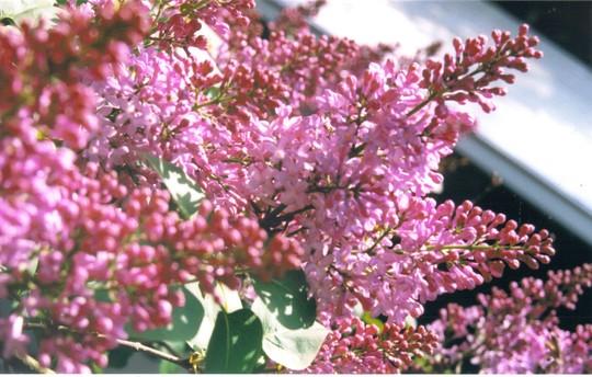 purple lilac (Syringa vulgaris (Common lilac))