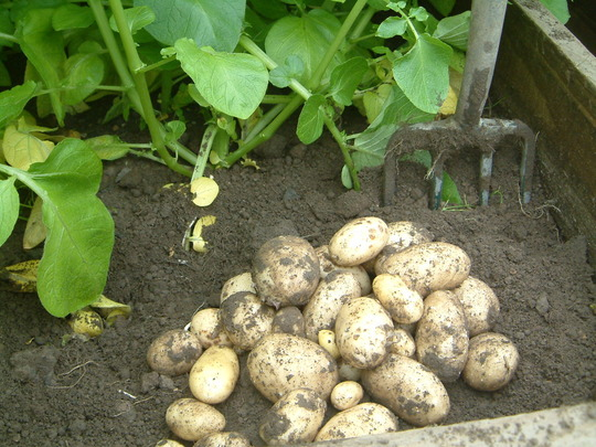 digging up the first new potatoes
