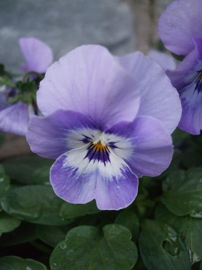 Blue viola