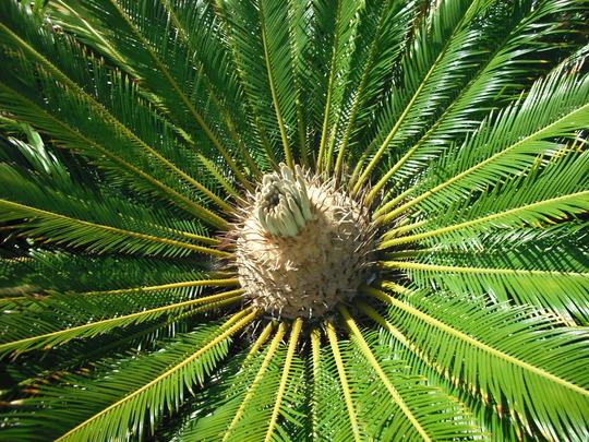 Cycas revoluta (Cycas revoluta (Japanese Fern Palm))