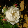 Rose 'Winchester Cathedral'