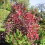 Salvia with Cotinus (2)