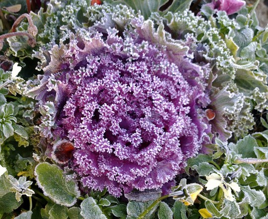 A Touch Of Frost  Ornamental Kale